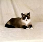 Фотографии Сноу-шу порода кошек.